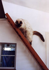 Purrl Plays on Her Loft Ladder
